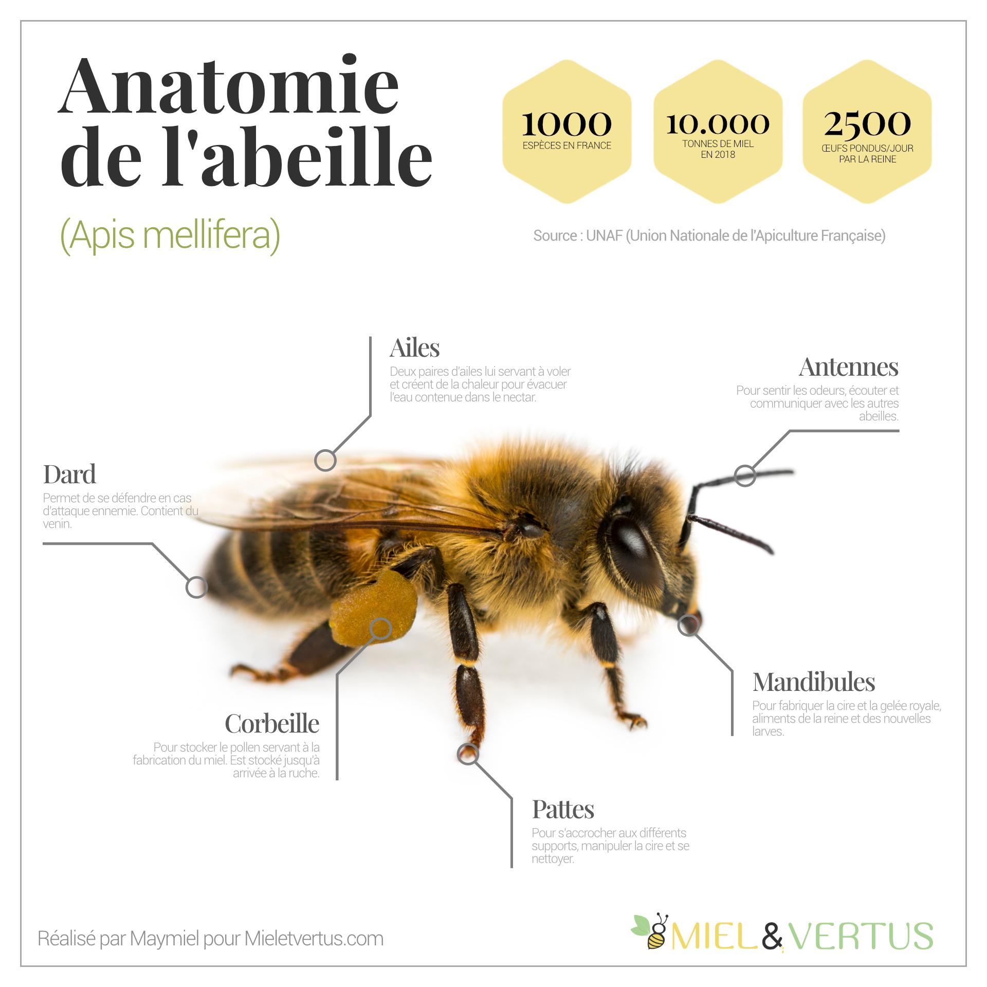 Anatomie abeille
