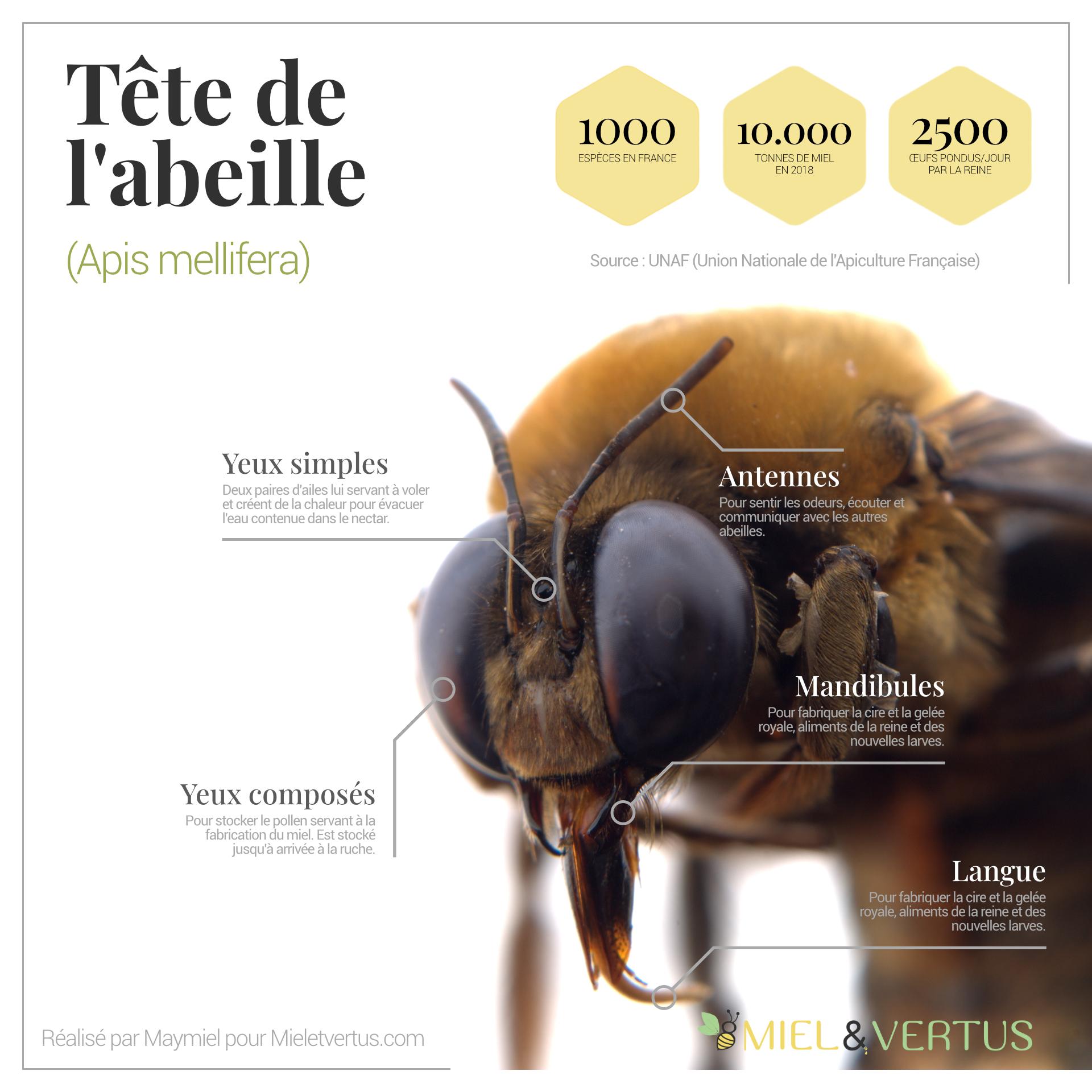 Tête de l'abeille