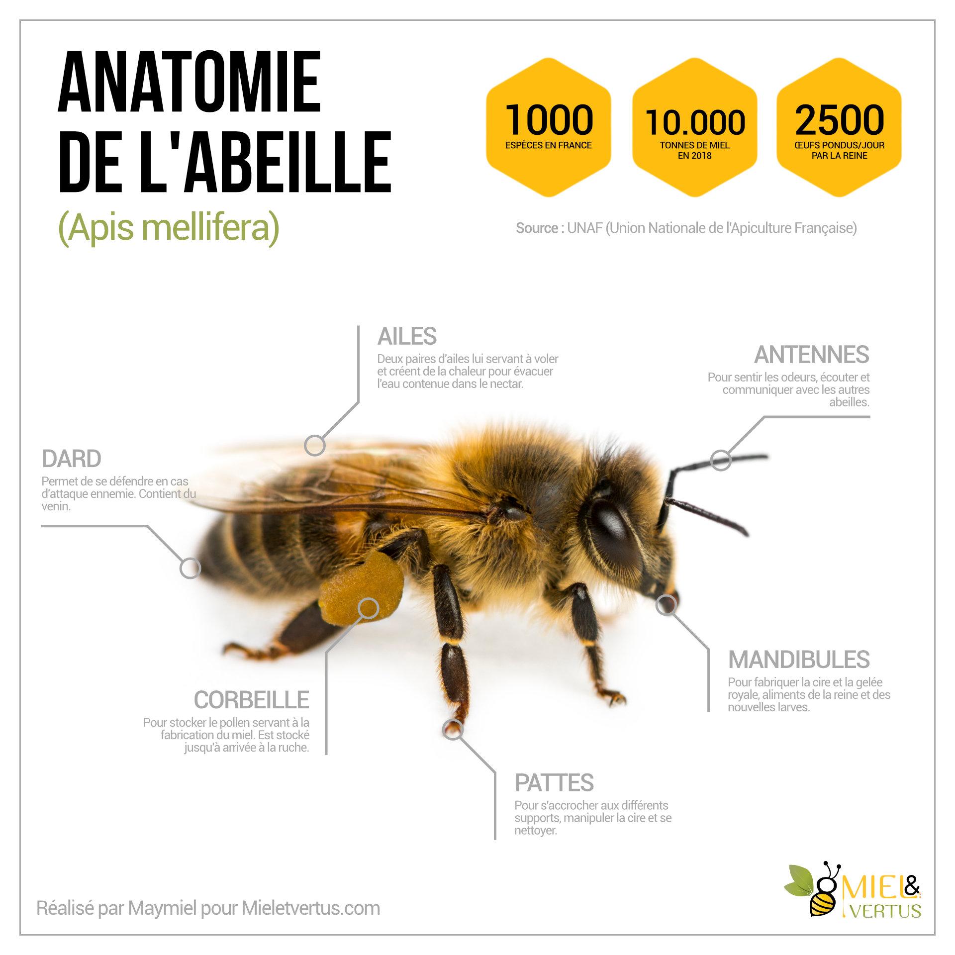 Anatomie-abeille.jpg