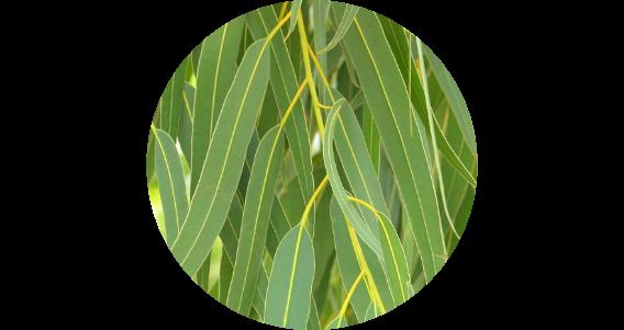 Miel d'eucalyptus du Maroc