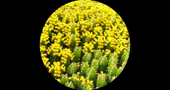 Miel de d'euphorbe du Maroc